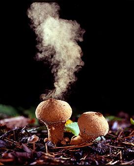 273px-Puffballs_emitting_spores
